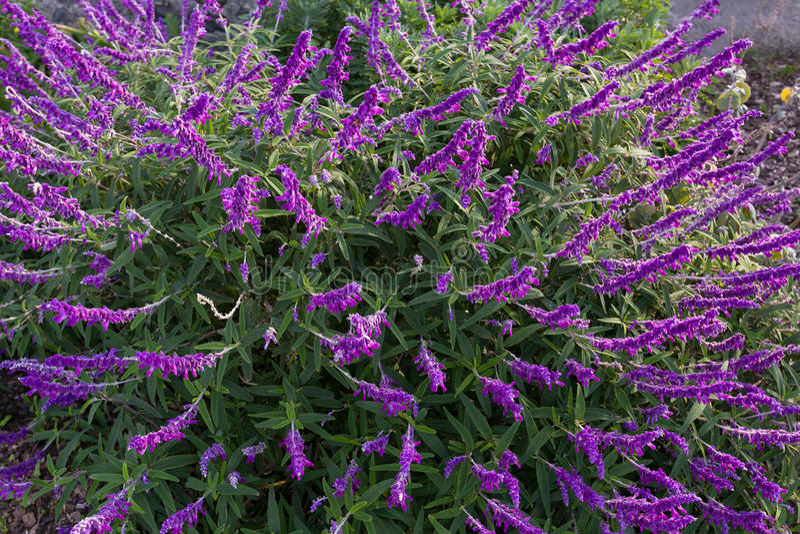 Mexicaanse struik wijze bloemen in purpere schaduw in de tuin in Tasma royalty-vrije stock afbeelding