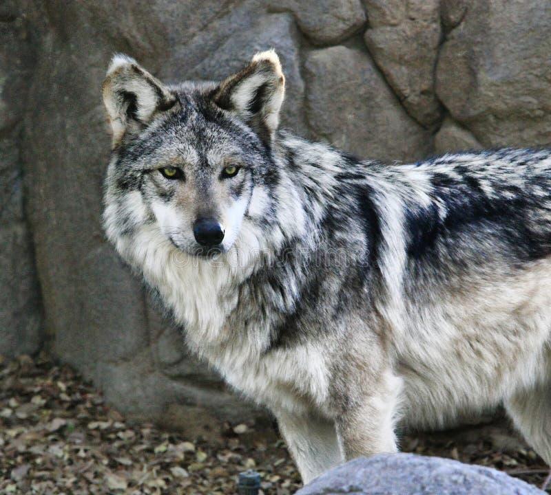 Mexicaanse Wolf royalty-vrije stock fotografie