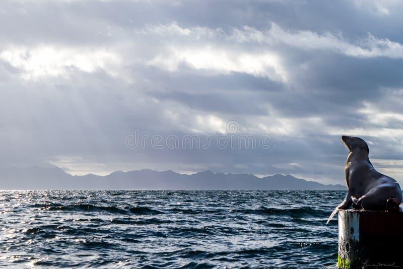 Mexicaanse Zeeleeuwen royalty-vrije stock afbeeldingen