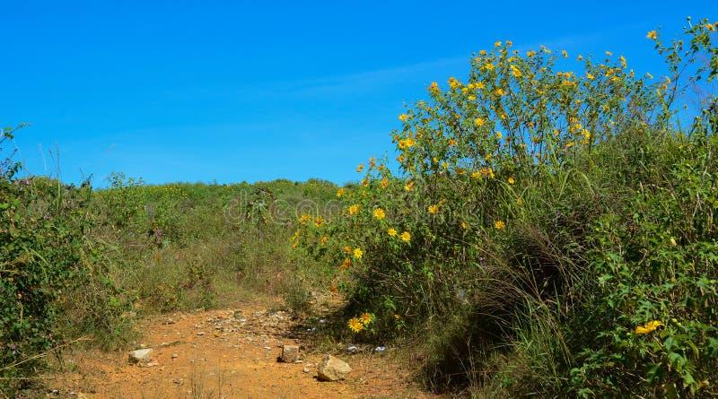 Mexicaanse zonnebloemen die bij de lente bloeien royalty-vrije stock afbeeldingen