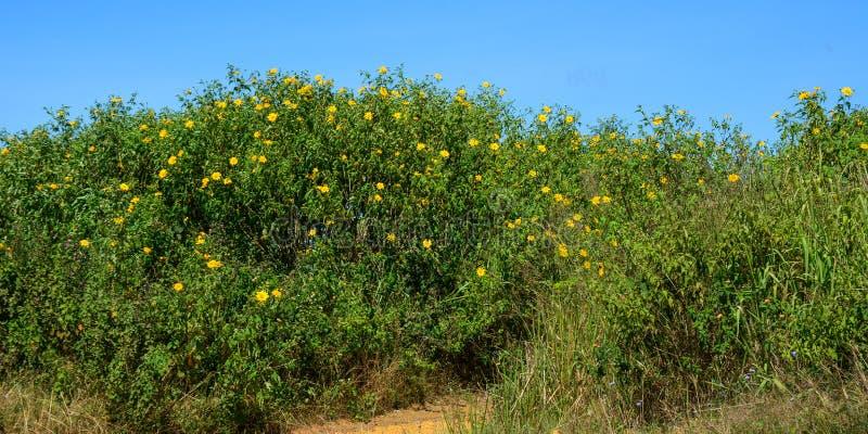 Mexicaanse zonnebloemen die bij de lente bloeien stock afbeelding