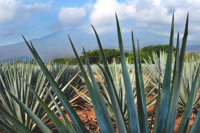 Tequila, Jalisco, Mexico. royalty free stock images