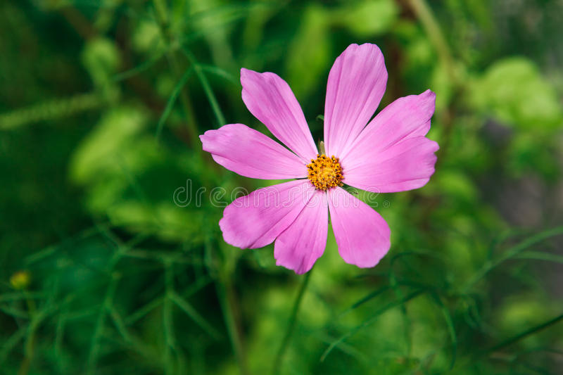 Mexican Aster pink flower or Garden Cosmos, closeup outdoors. Mexican Aster bright pink flower or Garden Cosmos, closeup outdoors at green background. Its Latin stock image