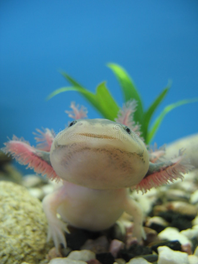 The Mexican axolotl royalty free stock photos