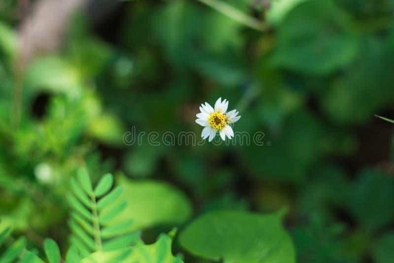Mexican daisy. Coat buttons, Mexican daisy, Tridax daisy, Wild Daisy (Tridax procumbens L royalty free stock photo