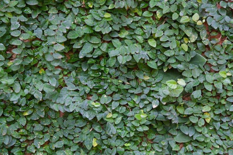 Mexican daisy royalty free stock photos