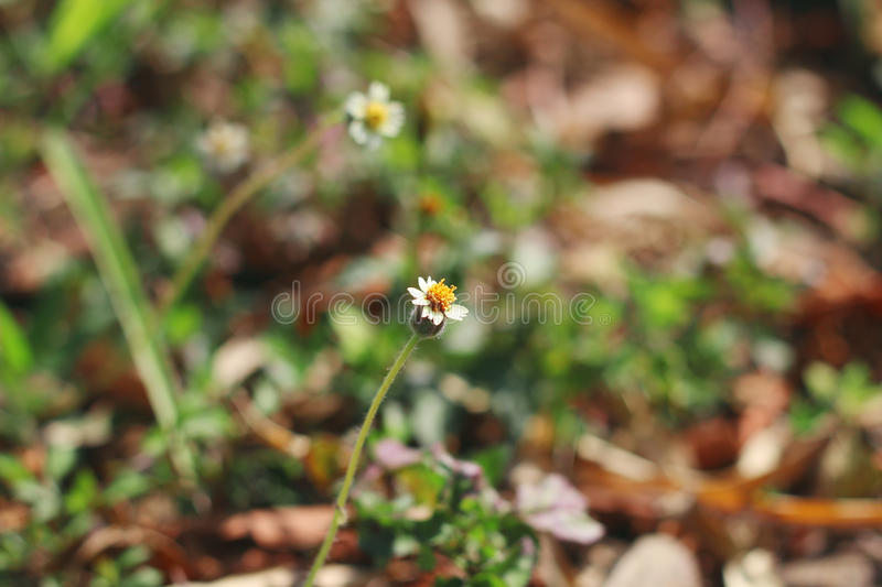 Mexican Daisy on Doi-Samer-Dao stock image
