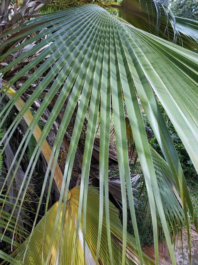 Mexican fan palm tree leaf royalty free stock photo