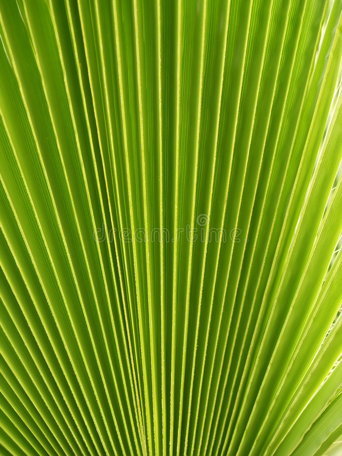 Free Mexican Fan Palm Stock Photography - 3347122