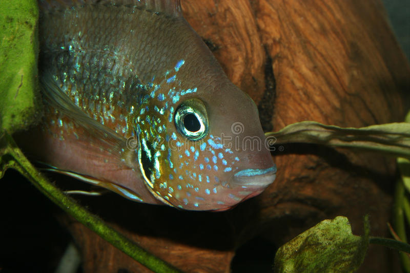 Download Mexican Fire Mouth (Thorichthys Aureus) Stock Image - Image: 18636187