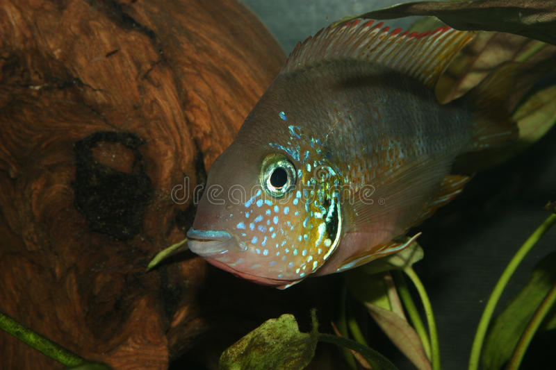 Download Mexican Fire Mouth (Thorichthys Aureus) Stock Image - Image: 18636557