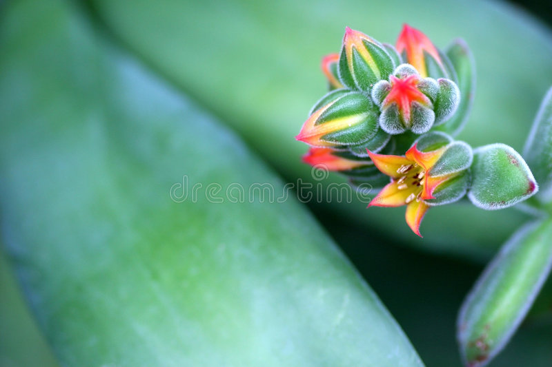 Mexican Firecracker. Macro of blossoms from the succulent Mexican firecracker stock photos