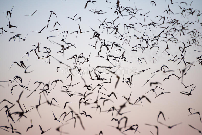 Mexican Free-Tailed Bats. Leaving a south Texas cave stock photography