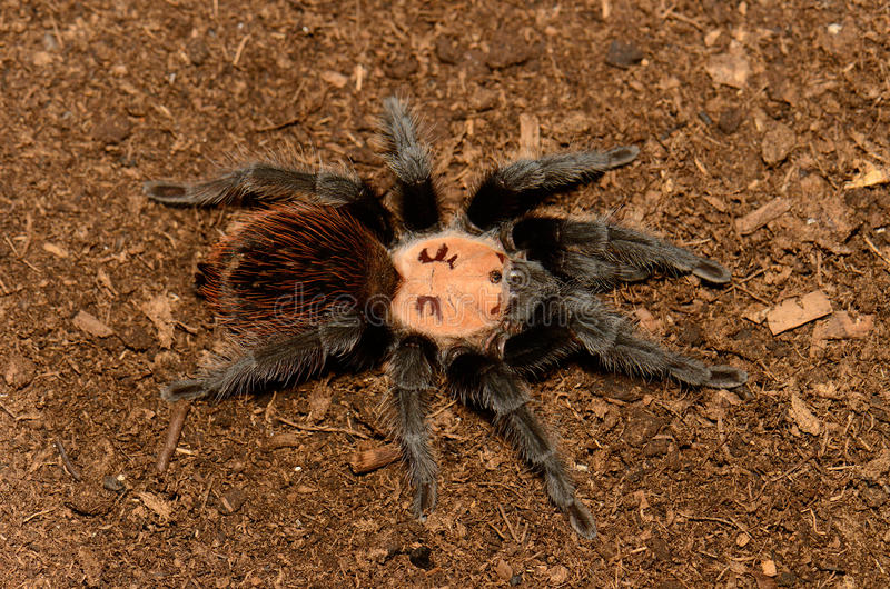 Mexican golden red rump tarantula. Beautiful subadult female Mexican golden red rump tarantula (Brachypelma albiceps royalty free stock images