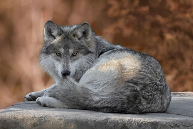 Mexican gray wolf full body portrait royalty free stock photo