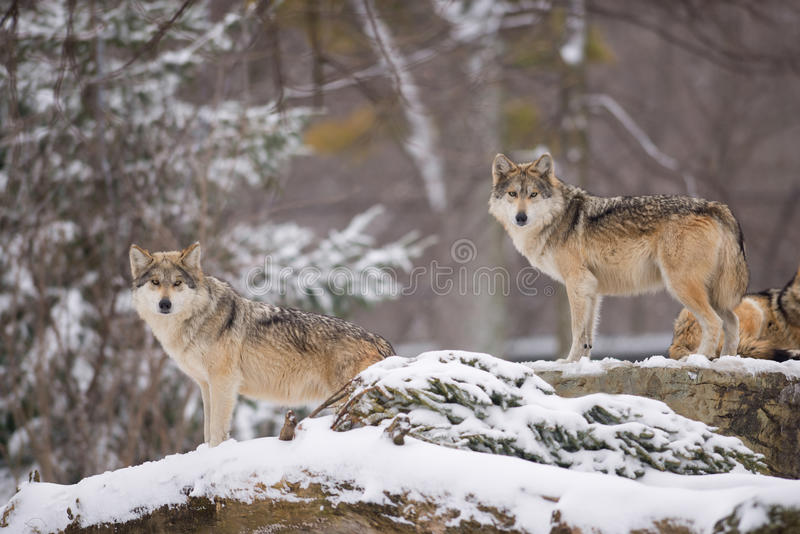 Mexican gray wolves. Pair of Mexican gray wolves (Canis lupus) standing on rocks in the winter royalty free stock photo