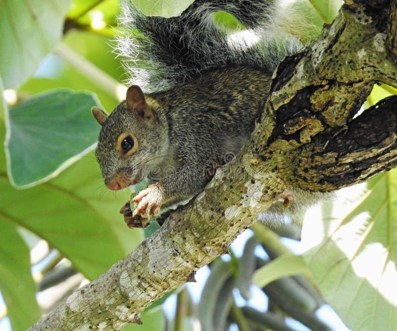 Mexican Grey Squirrel royalty free stock image