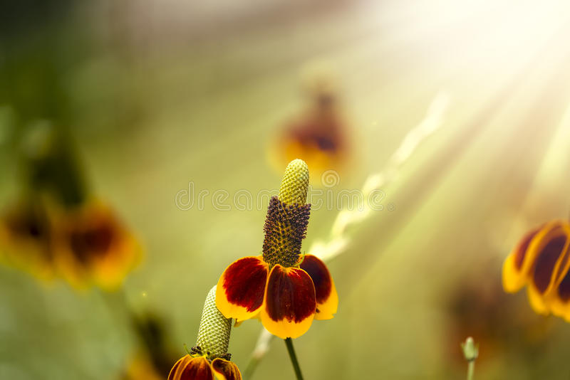 Mexican Hat Flowers stock image