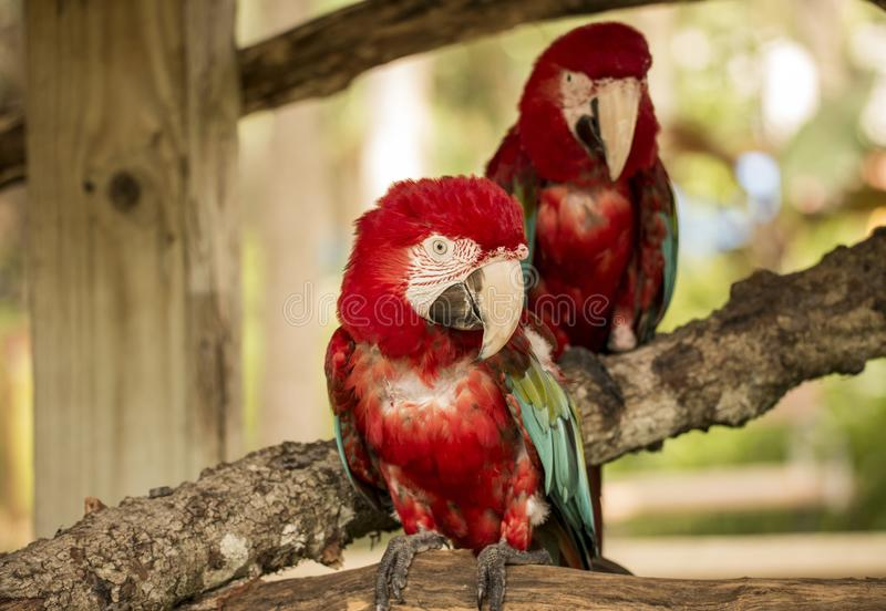 Cockatoo birds luving life. royalty free stock image