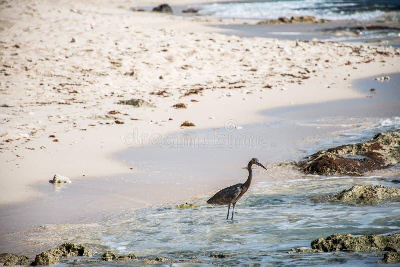 Download Mexican Heron Bird Beach Del Carmen Yucatan Stock Photo - Image: 83723126