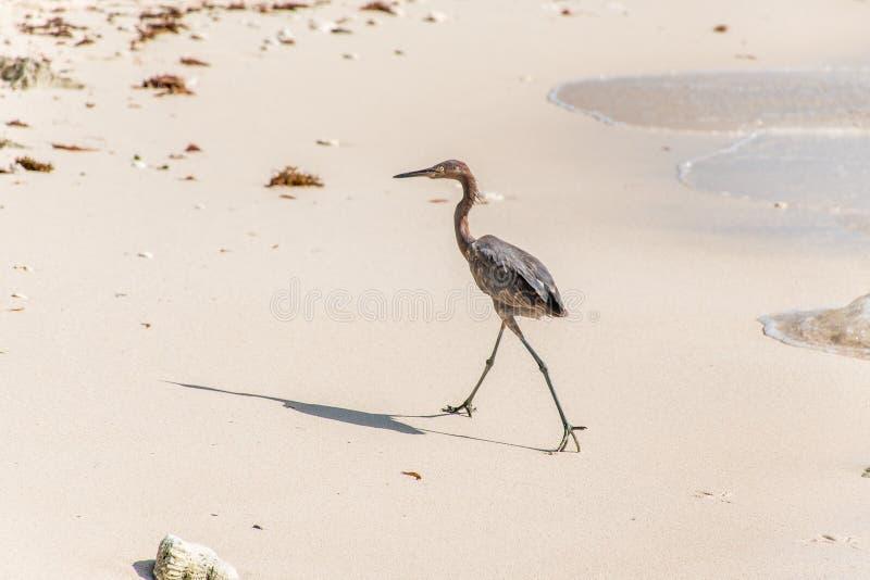 Download Mexican Heron Bird Beach Del Carmen Yucatan 10 Stock Photo - Image: 83723208