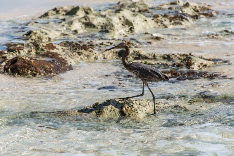 Download Mexican Heron Bird Beach Del Carmen Yucatan 6 Stock Image - Image: 83723215