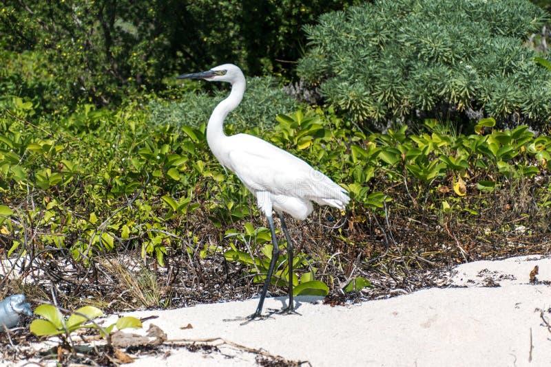 Download Mexican Heron Bird Beach Del Carmen Yucatan Stock Photo - Image of avian, nature: 83724278