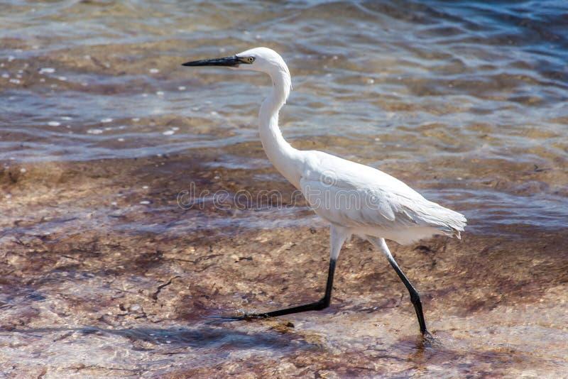 Download Mexican Heron Bird Beach Del Carmen Yucatan Stock Photo - Image: 83724279