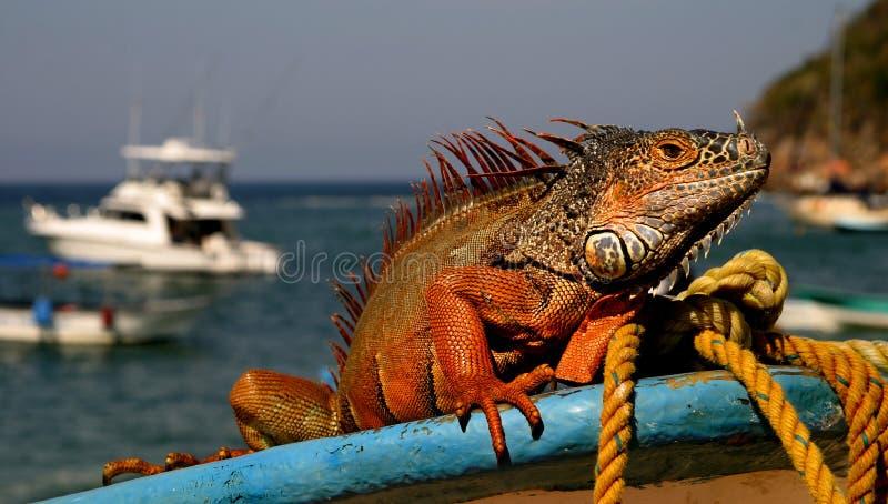 Mexican Iguana stock photos