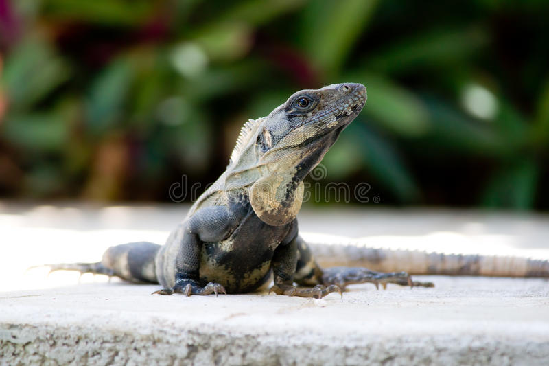 Download Mexican Iguana Stock Images - Image: 26089564