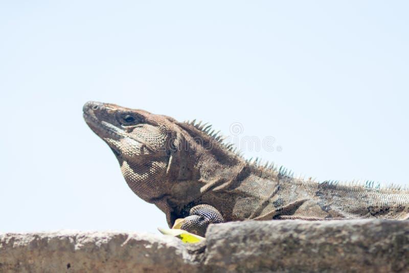 Iguana sunbathing at Chichen Itza ruins royalty free stock images