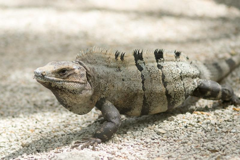 Mexican iguana at Tulum ruins stock photo