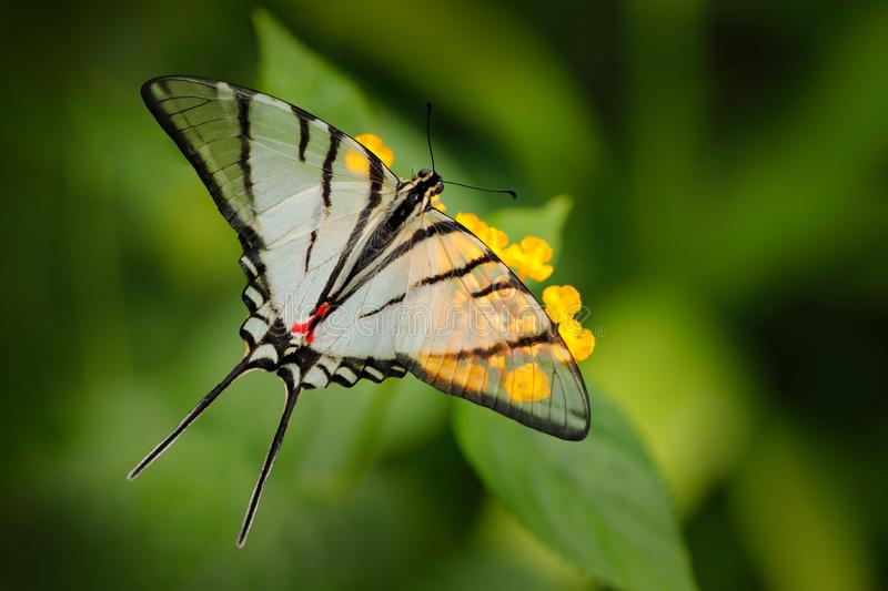 Mexican Kite-Swallowtail Eurytides epidaus, beautiful butterfly with transparent white winggs. Butterfly sitting on yellow flower. In green forest. Insect from stock image