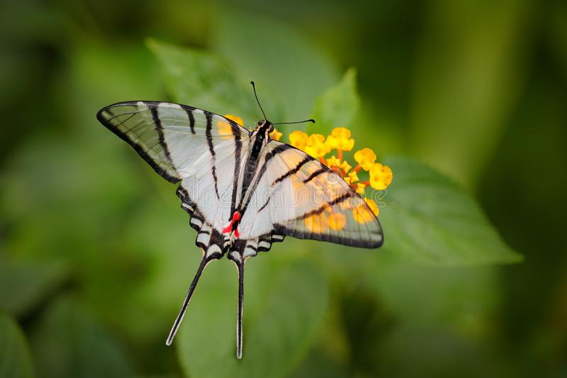 Mexican Kite-Swallowtail Eurytides epidaus, beautiful butterfly with transparent white wings. Butterfly sitting on yellow flower. In green forest. Insect from royalty free stock photos