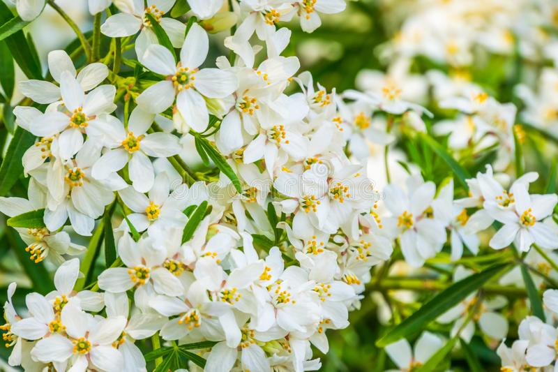 Mexican orange blossom flowers in macro closeup, White aromatic flowering plant from Mexico, Popular tropical cultivated shrub, stock images