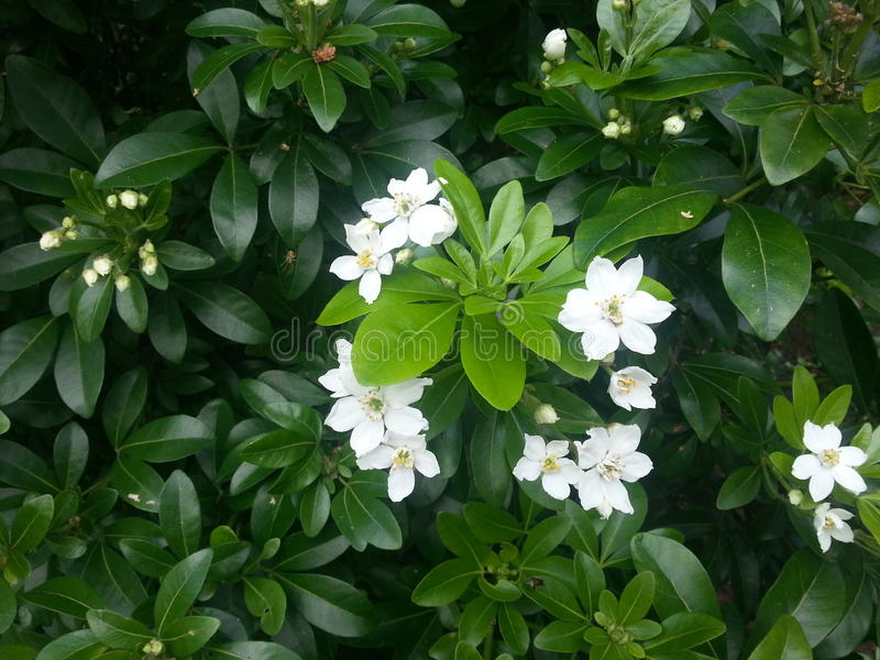 Mexican orange blossom royalty free stock photography
