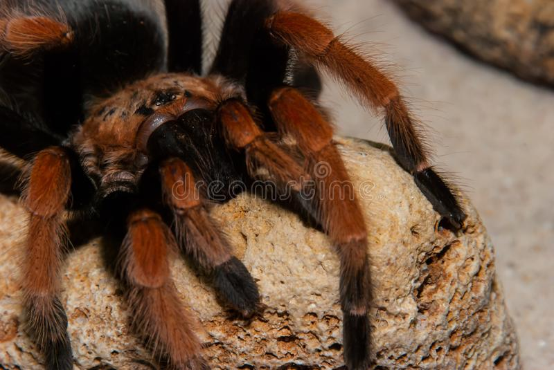 Mexican Red Leg Tarantula royalty free stock images