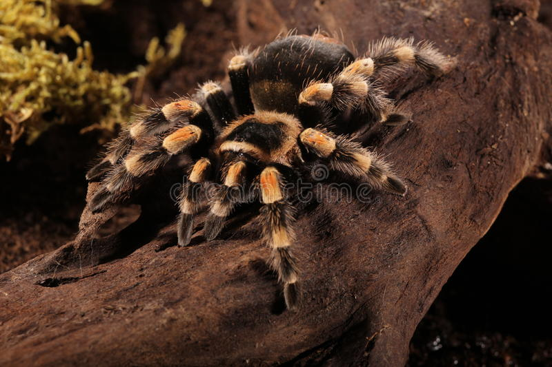 Mexican Redknee spider stock image