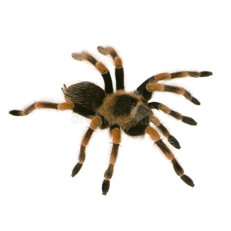 Download Mexican redknee tarantula stock photo. Image of lethal - 2237314