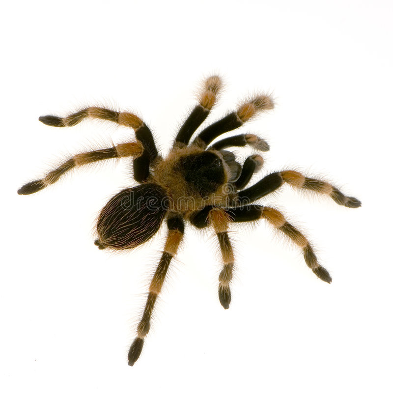 Download Mexican redknee tarantula stock photo. Image of fatal - 2321618