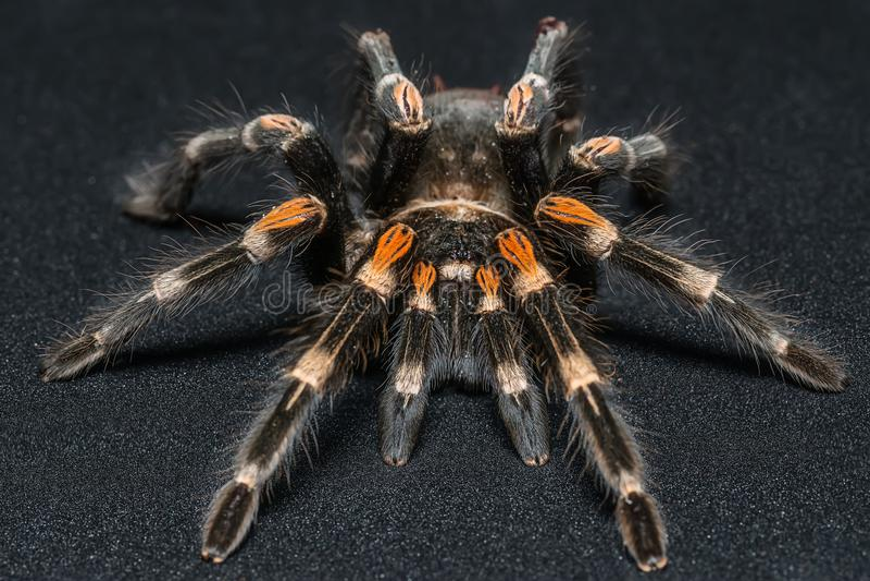 Mexican redknee tarantula Brachypelma smithi isolated on black background.  royalty free stock photography