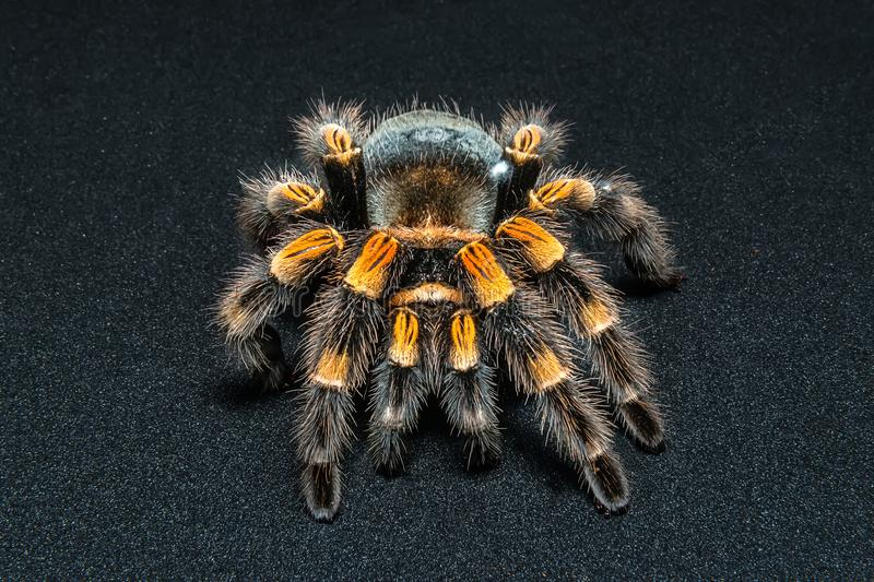 Mexican redknee tarantula Brachypelma smithi isolated on black background stock photo