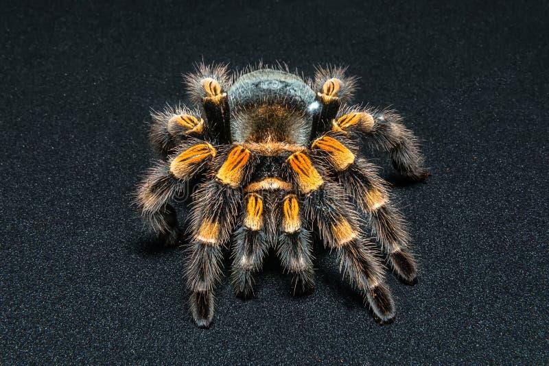 Mexican redknee tarantula Brachypelma smithi isolated on black background.  stock photo