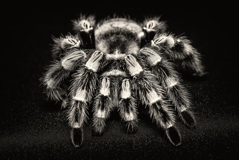 Mexican redknee tarantula Brachypelma smithi isolated on black background.  royalty free stock images