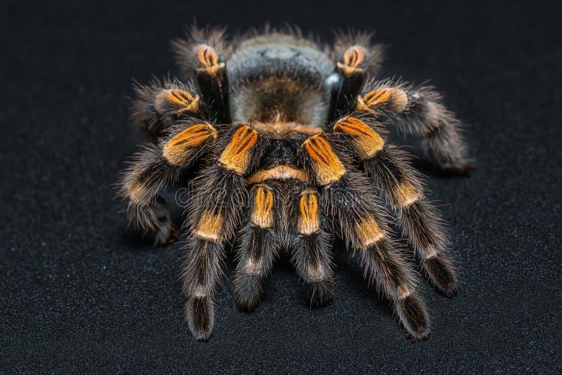 Mexican redknee tarantula Brachypelma smithi isolated on black background.  royalty free stock photos