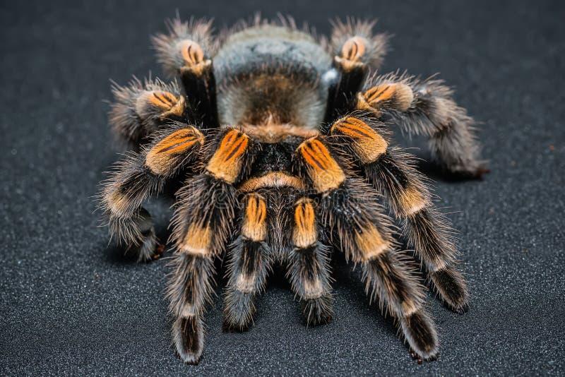 Mexican redknee tarantula Brachypelma smithi isolated on black background.  stock image