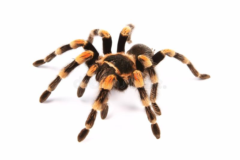 Mexican redknee tarantula Brachypelma smithi, spider female stock photo
