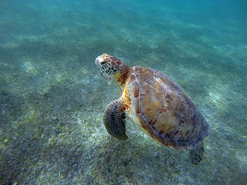 Mexican Sea Turtle underwater swimming stock images