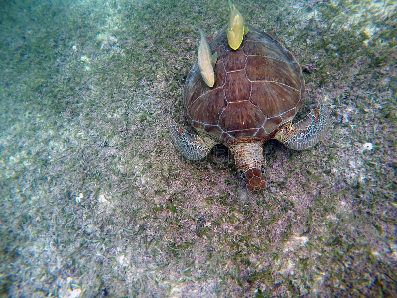 Download Mexican Sea Turtle Underwater Swimming Acumal Bay 7 Stock Photo - Image: 83723885