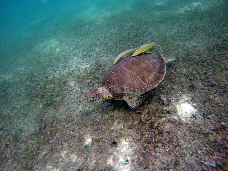 Download Mexican Sea Turtle Underwater Swimming Acumal Bay 11 Stock Photo - Image: 83723907